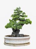 Bonsai tree isolated on white background.