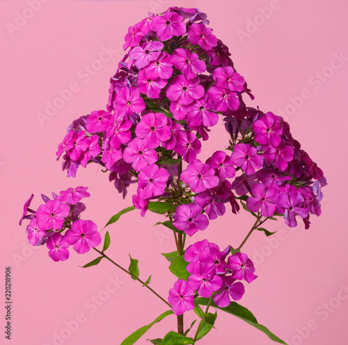 Flowers magentine phlox isolated on a pink background. - 220218906