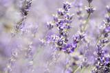 Lavendel - 220224756