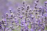 Lavendel - 220225556