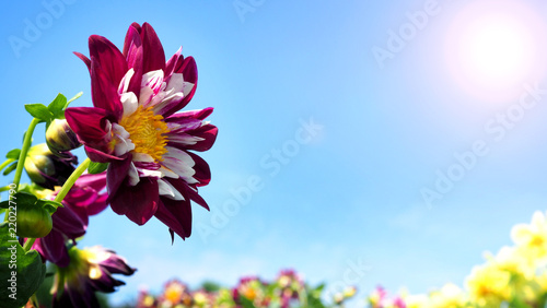 Dahlia flowers in close up or macro images which have a bright red color and light blue sky and flare sunlight in summer day of Furano Hokkaido Japan.