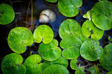 green leafs on lake water surface - 220231531