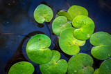 green water lily leafs in lake - 220231757