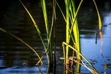 cane sprout in river water - 220231931