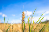 Finnish wheat field. Kajaani, Finland - 220249123