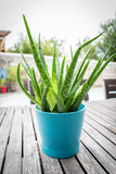 Green Aloe Vera plant in flower pot - 220259763