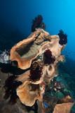 Elephan ear Sponges Tropical Underwater Reef