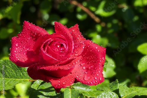 Rote Rose im Morgentau