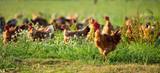 Poulets d'élevage en plein air, volaille en campagne - 220277518