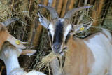 Capra che mangia, Goat eating - 220281148
