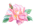 Delicate rose floribunda with buds, watercolor drawing on white background, isolated with clipping path. - 220287510