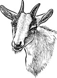 Sketch of the head of a domestic goat - 220293593