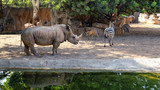A zebra and a rhinoceros beside a pond in the middle - 220309397