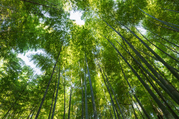 upward view of the bamboo forest © chungking
