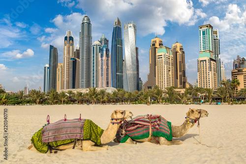 fototapeta na ścianę Camel in front of Dubai Marina