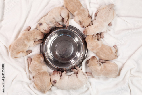 Cute newborn labrador puppy dogs sleeping around empty feeding bowl