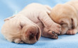Leinwandbild Motiv Newborn yellow labrador puppies sleeping