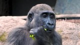 Closeup of young gorilla eating salad and spitting it out again - 220362904
