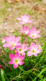 Pink Zephyranthes Lily flower in a garden.