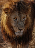 The king of the Jungle  - 220384392