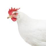 portrait of a white chicken isolated - 220394191