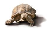 big turtle isolated - 220394386