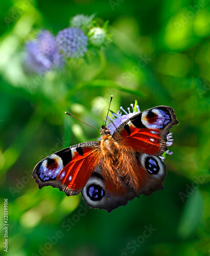 Peacock butterfly or Aglais io (Inachis io), Nymphalidae family, on violet flowers of field scabious or Knautia arvensis with green blurred bokeh background - 220399106