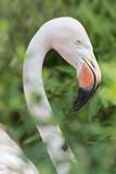 Adult flamingo outdoors.