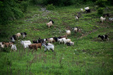 Herd of goats coming from pasture to paddock in village in late summer evening. Green forest next to mountain meadow.   - 220403911