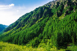 Giant mountain slope with conifer forest in sunny day. Texture of tops of coniferous trees on mountainside in sunlight. Steep rocky cliff. Vivid landscape of majestic nature. View from meadow on hill. - 220410706