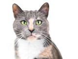 A Dilute Calico domestic shorthair cat with green eyes looking at the camera - 220410712