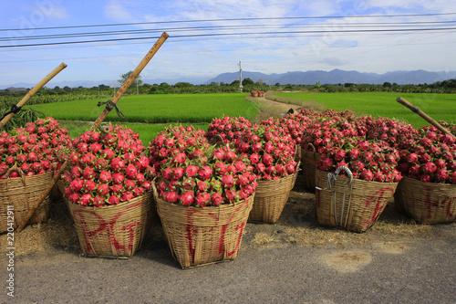 Foto Murales Harvesting dragon fruit in Vietnam