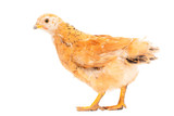 Portrait of an orange chick on a white background - 220420722