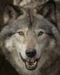 Leinwanddruck Bild - Timber wolf or Grey Wolf (Canis lupus) portrait closeup in Canada