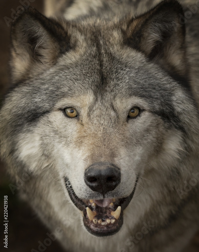 Leinwandbild Motiv Timber wolf or Grey Wolf (Canis lupus) portrait closeup in Canada