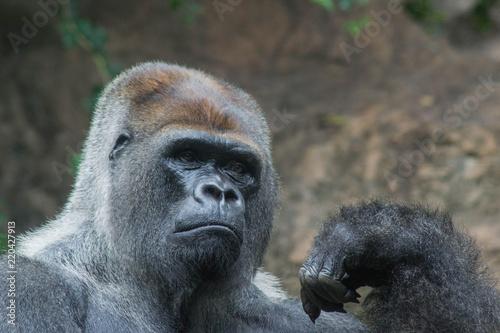 Foto Murales Gorilla