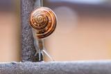 Close up of brown snail, slowly crawling down an iron bar, after massive storm. Garden wildlife, outdoor, natural light, organic patterns. - 220432983