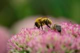 Closs up of a bee on a sedum flower - 220439578