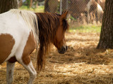 Pinto Horse with Long Unkept Mane - 220447318