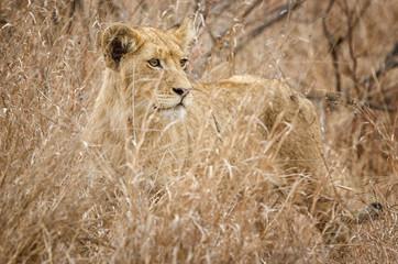 lion © MOIZ