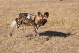 african wild dog - 220455721
