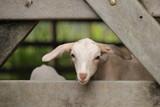 Goat - 220457593