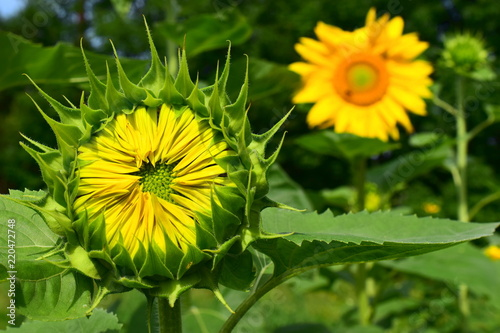 Foto Murales Mature sunflowers. Green head of a sunflower, the petals still pressed to the middle. In the background is a flowering sunflower.