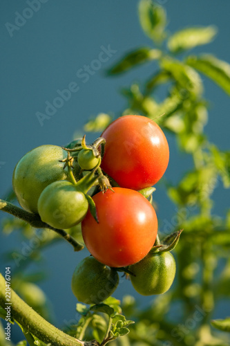 Foto Murales fresh rounded red and green tomatoes on the vein under the sun