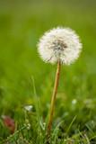 single dandelion flower with green background  - 220476977