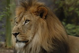 Lion Looking off into the distance - 220478301