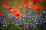 Corn poppies (Papaver rhoeas) and Cornflowers (Centaurea cyanus)