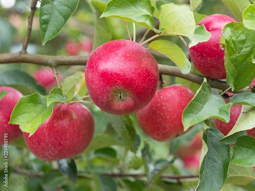 Leinwanddruck Bild Apfel - Apfelbaum - Apfelernte im Garten