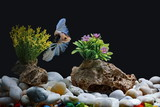 Fighting fish, Siamese fish, in a fish tank decorated with pebbles and trees, Black background. - 220496122