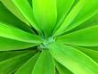 Leinwandbild Motiv Green yucca leaves as a floral background. Spanish bayonet tree close-up.Natural tropical plant texture.Selective focus.